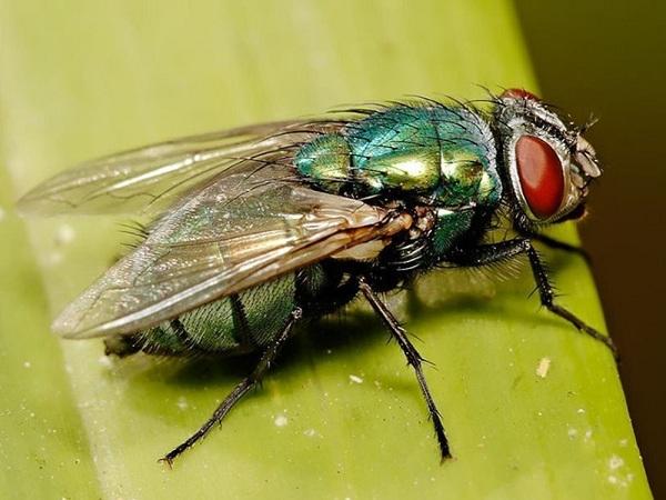 Mơ thấy ruồi nhặng ý nghĩa gì và nên đánh con số đề nào