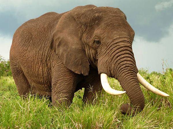 Mơ thấy voi là điềm gì? Lựa chọn cặp bạch thủ nào chắc ăn?