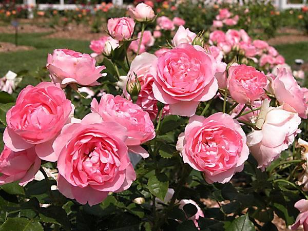 Nằm mơ thấy hoa hồng có những điềm báo gì tốt hay xấu