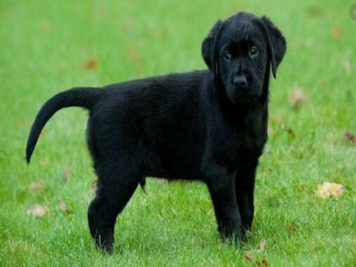 Nằm mơ thấy chó đen đánh số mấy ? là điềm hung hay cát ?